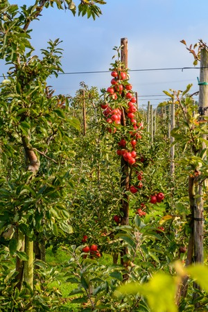Red apple harvest in the orchard