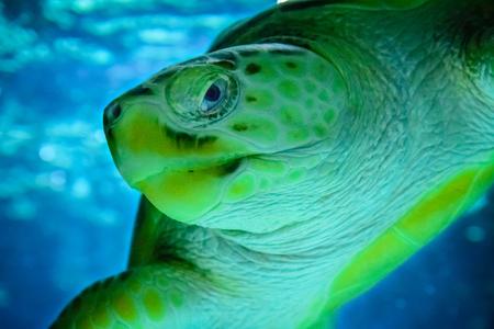 Sea turtle swimming, close up