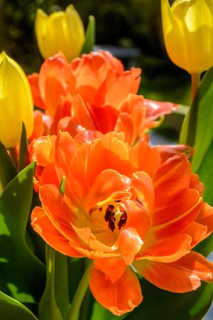 Orange tulip flower close up Stock Photo