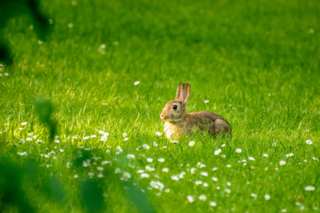 Young rabbit in a meadow with white daisies Stock Photo