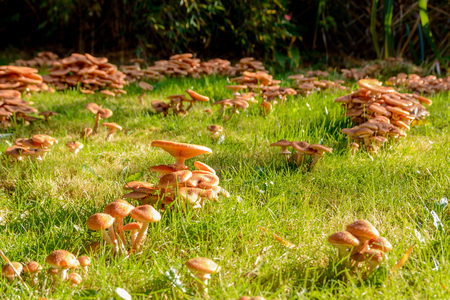 Mushrooms in my garden in autumn, Honey Fungus