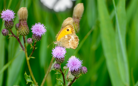butterfly sandy eye on thistle in bloom Stock Photo