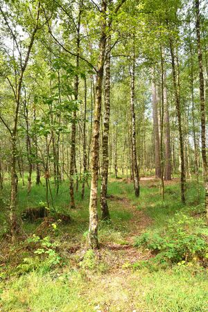 Birch Forest in Kalmthout, nature reserve in Belgium Stock Photo