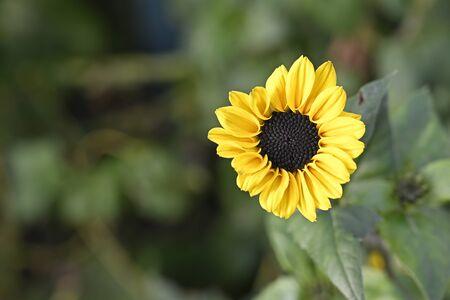 Soft yellow sunflower called Moonwalker