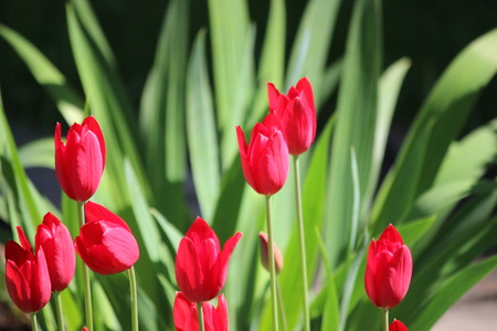 several: several classic red tulip