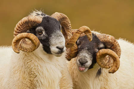 Pair of Cheeky Rams photo
