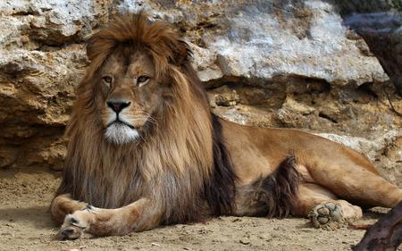 stone lion: Lion Stock Photo
