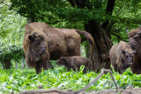 motherly love: European bison  family