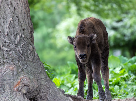 motherly love: European bison cub