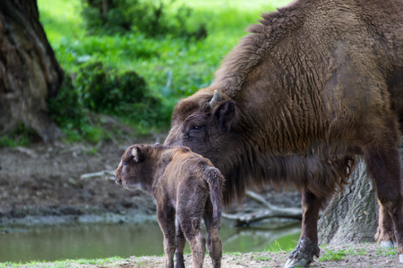 motherly love: European bison  mother and cub