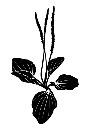 Plantain black silhouette isolated on white background. Black and white plantain vector isolated. Hand drawn sketch of healing herbs. Vector illustration. Illustration
