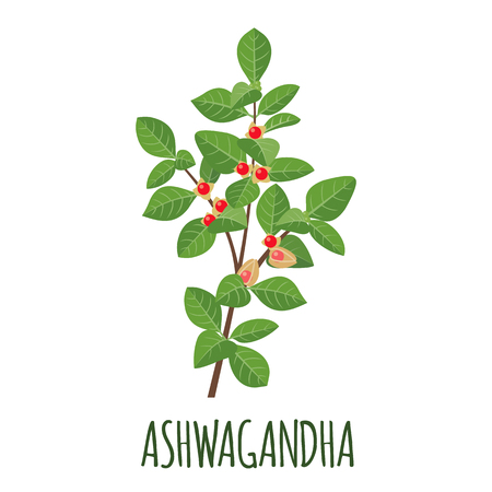 Ashwagandha vector in flat style Isolated object. Superfood ashwagandha medical herb. Vector illustration.