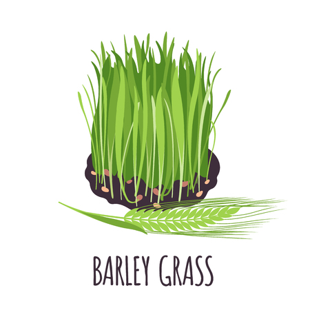 Barley grass vector in flat style. Isolated object. Superfood Barley grass medical herb. Vector illustration.
