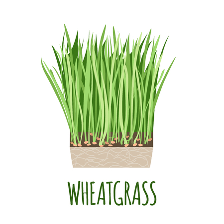 Wheatgrass vector in flat style. Isolated object. Superfood Wheatgrass medical herb. Vector illustration. Stock Illustratie