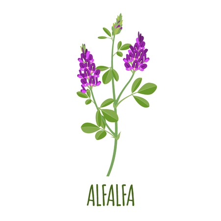 Alfalfa vector in flat style. Isolated object. Superfood alfalfa medical herb. Vector illustration.