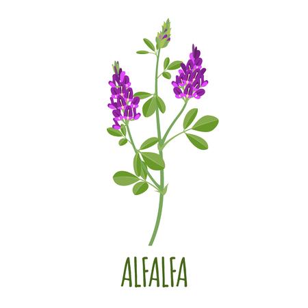 Vector de alfalfa en estilo plano. Objeto aislado. Hierba medicinal de alfalfa superalimento. Ilustración de vector. Ilustración de vector