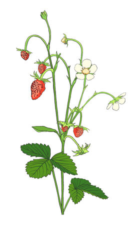 Hand drawn Strawberry isolated on white background. Design element for tea, juice, natural cosmetics or health care products. Botanical image. Vector illustration.
