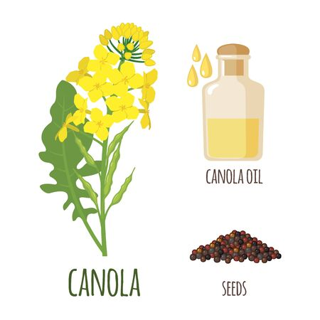 Canola Flowers with Pod, Seeds and oil in flat style isolated on white background. Protein Meal and Vegetable Oil. Vector illustration.