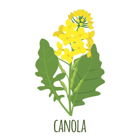 Canola flower in flat style isolated on white background. Vector illustration.
