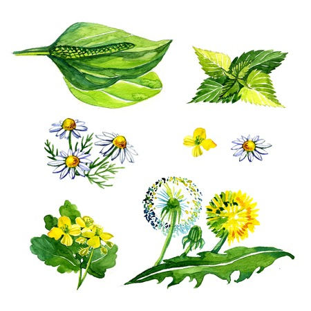 nettle: Watercolor medicinal plants 1