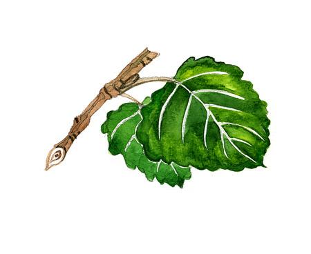 aspen leaf: Watercolor summer insulated aspen on white background
