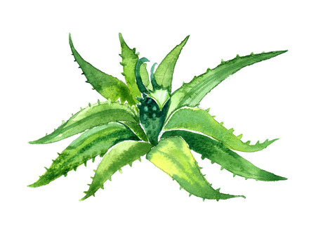 aloe vera plant: Watercolor summer insulated aloe vera on white background