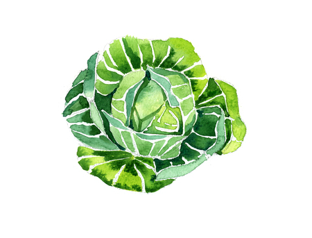 Watercolor summer insulated cabbage on white background