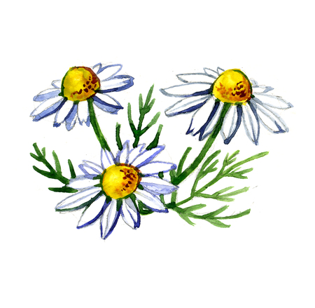 chamomile: Watercolor summer insulated chamomile on white background Stock Photo