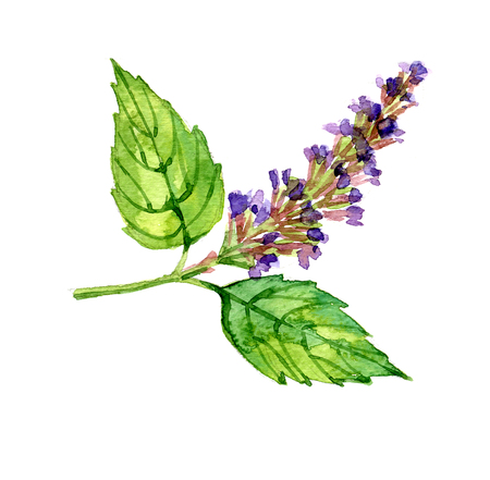 Watercolor summer insulated patchouli on white background