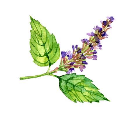 Watercolor zomer geïsoleerd patchouli op een witte achtergrond Stockfoto
