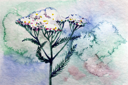 herb medicine: Watercolor summer yarrow on a blue background Stock Photo