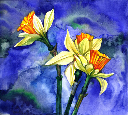 narcissus: Watercolor spring floral narcissus on blue background