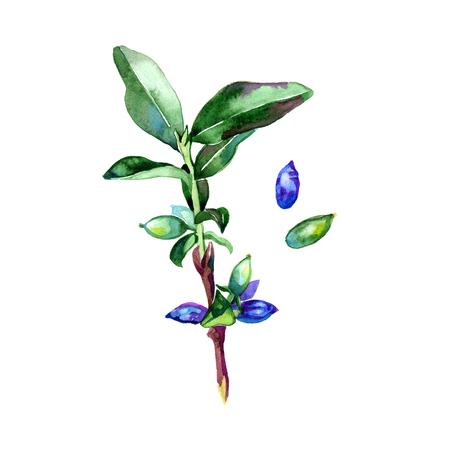 honeysuckle: Watercolor honeysuckle berries illustration on white background