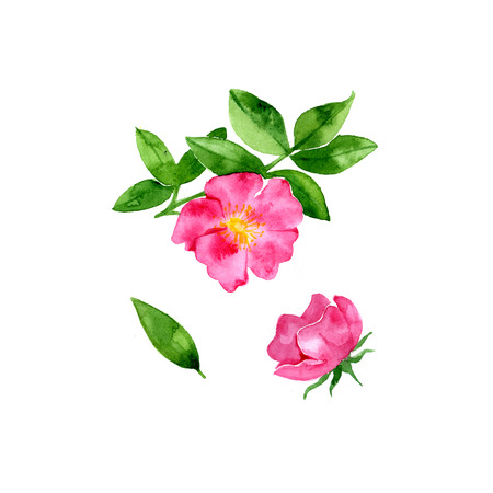Pink flowers. Red rosehip with watercolors on white background Stock Photo