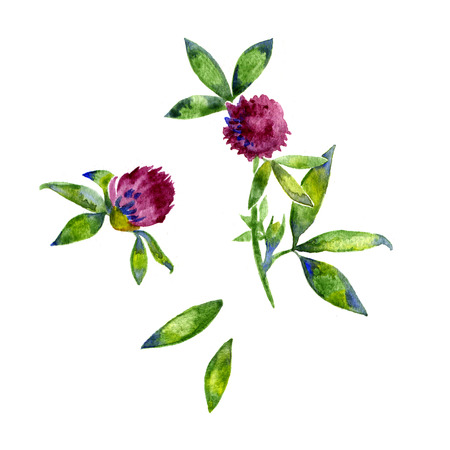 trifolium: Watercolor red clover, shamrock wild field flower isolated on white background, botanical hand drawn illustration for design package tea, cosmetic, medicine, greeting card, wedding invitation, textile