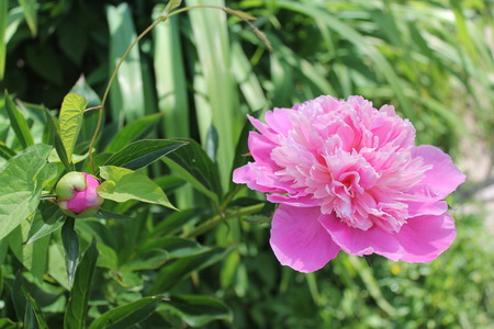 flori culture: Pink beautiful flowers peony over the green leaves Stock Photo