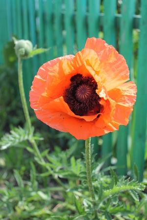 flower scarlet opium poppy on a green background