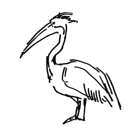 Pelican sketch ink illustration on white background