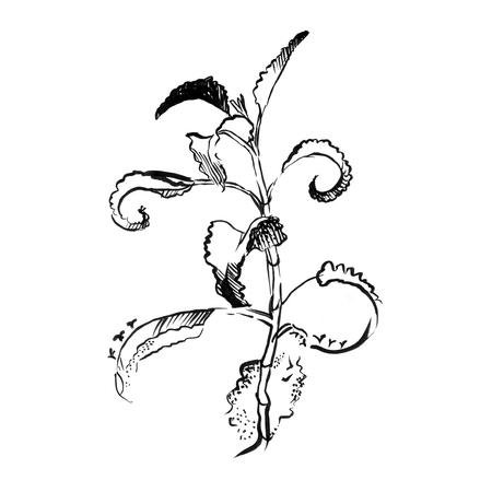 aloe vera plant: Aloe Vera plant hand drawn engraving illustration on white background.