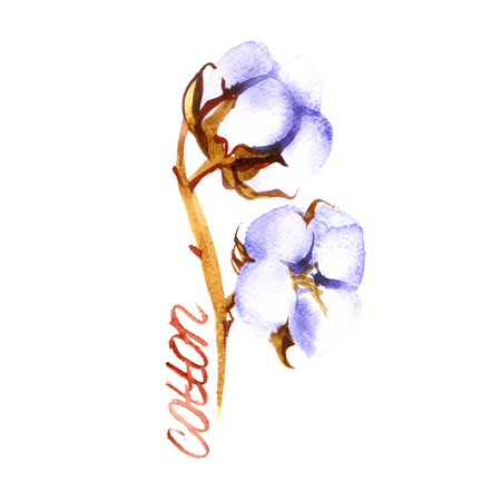 boll: Hand drawn watercolor Cotton boll. Can be used as a greeting card for background, birthday, mothers day and so on. Romantic background for web pages, wedding invitations, wallpaper. Stock Photo
