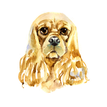 Watercolor American Cocker Spaniel on white background