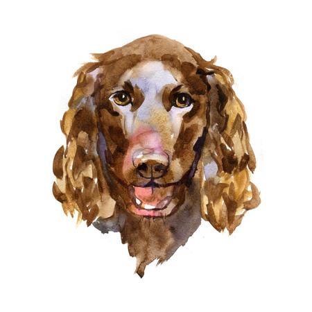 cute dog: American Water Spaniel in watercolor