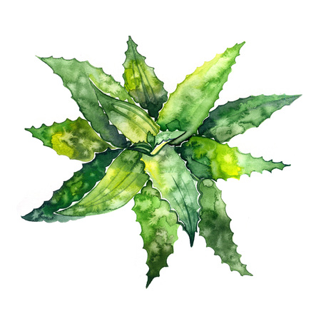 Aloe vera. Hand drawn watercolor painting. Illustration on white background. Banco de Imagens