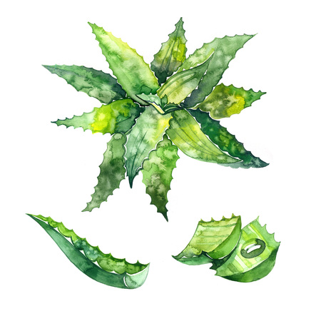Aloe vera. Hand drawn watercolor painting. Illustration on white background. 스톡 콘텐츠