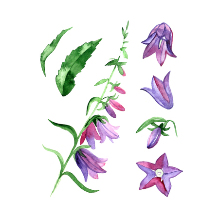 Watercolor image of cultivated bluebell on white background. Stock Photo