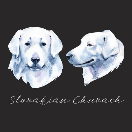 Slovakian Chuvach. Slovak cuvac dog breed with long fur digital art. Watercolor portrait close up of domesticated animal, hand drawn doggy slovakian purebred canine profile.