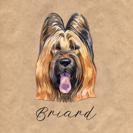 Briard dog breed isolated