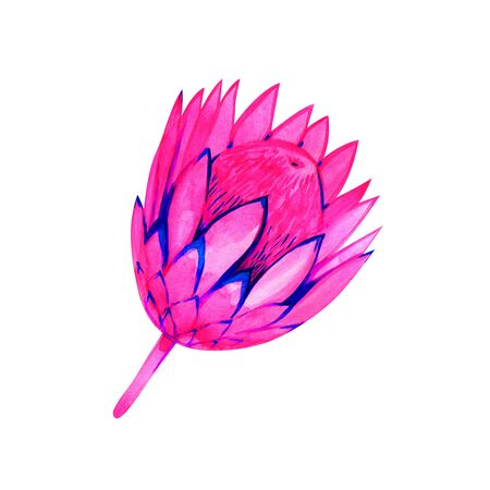 Pink neon watercolor protea isolated on white background, boho fashion print, tropical watercolor illustration