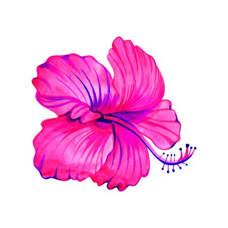 Hibiscus flower isolated on white background. Watercolor with summer garden and wild flowers. Stock Photo