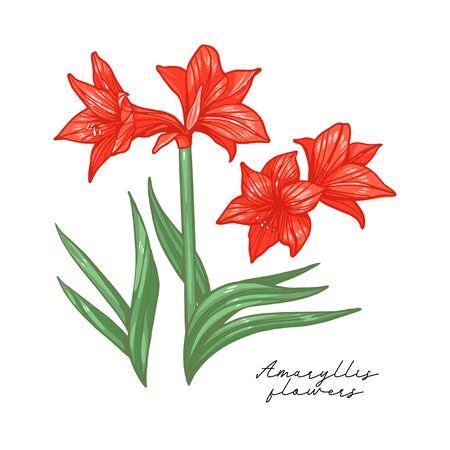 Amaryllis lily flower botanical vector Art isolated on white background.